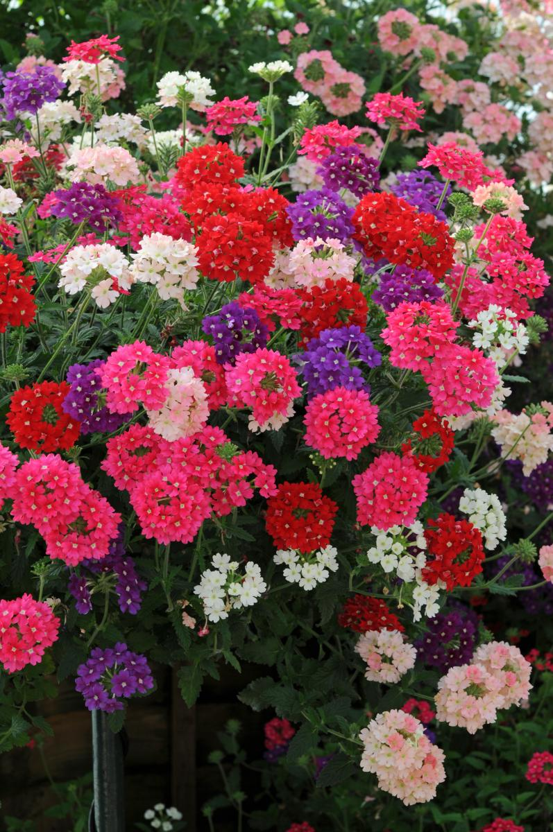 picture of verbena