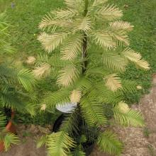 picture of wollemi pine 4 years old