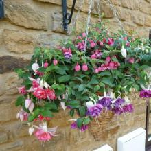 picture of fuchsia basket