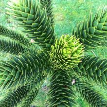 photo of monkey puzzle tree