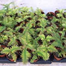 picture of wollemi pine