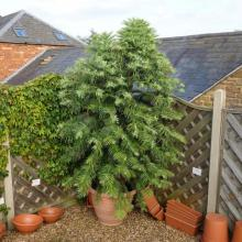 picture of wollemi pine 10 years old