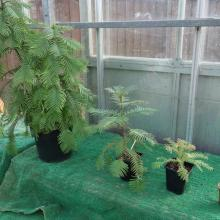 picture of wollemi pine 2 to 5 years old