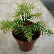 picture of wollemi pine 2 years old