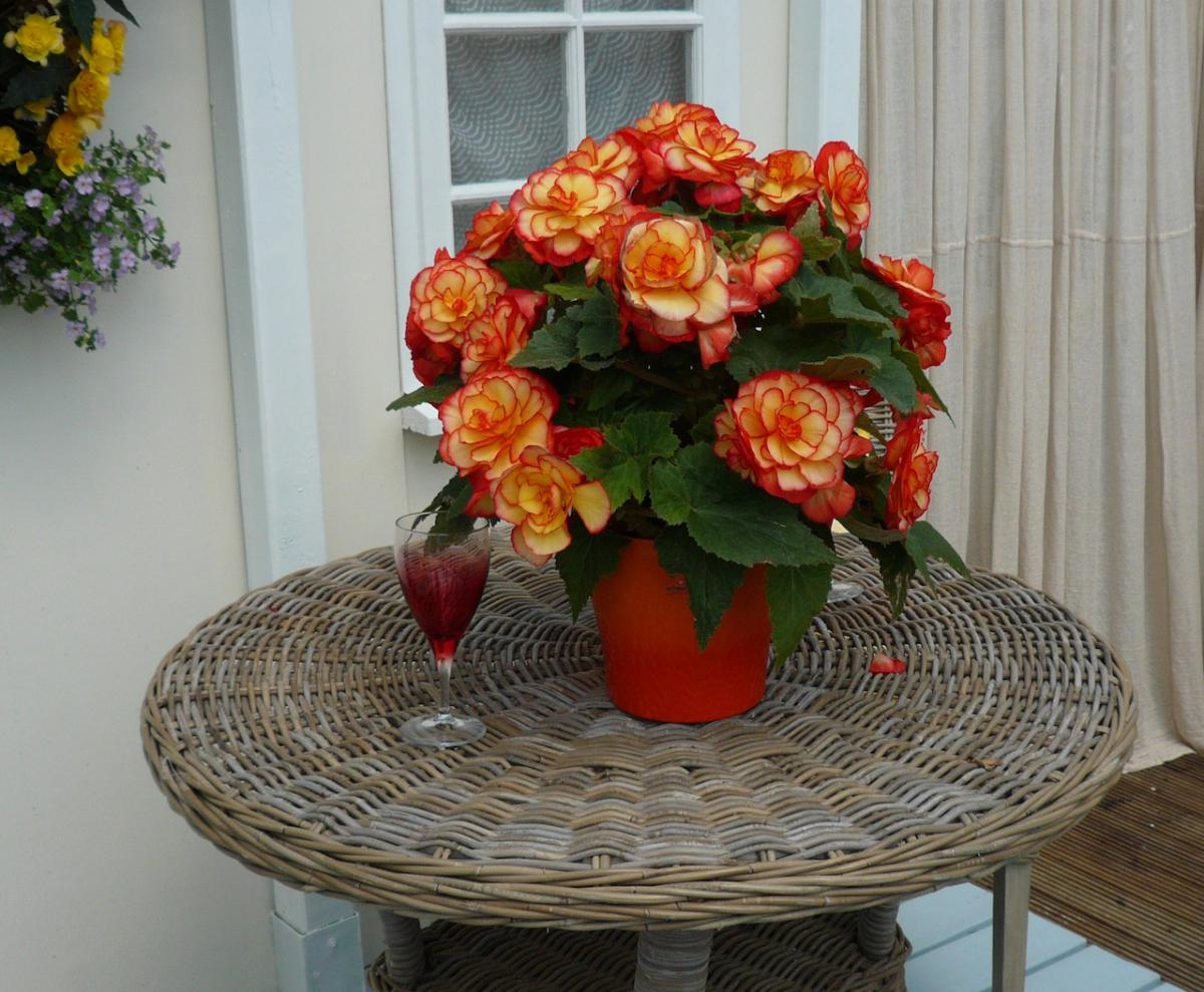 picture of begonia