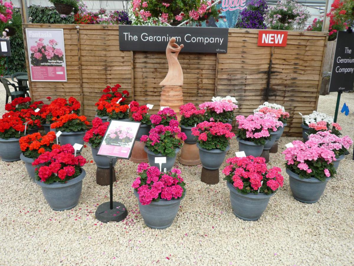 picture of geraniums