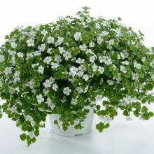 picture of bacopa