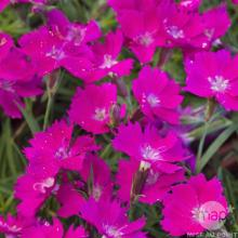 picture of dianthus